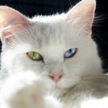 Кот с гетерохромией, Курган
