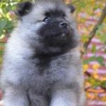Породные щенки вольфшпица (кеесхонда), Курган