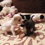 Очаровательные щенки китайской хохлатой собаки, Курган